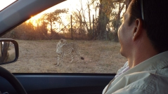 chita o guepardo