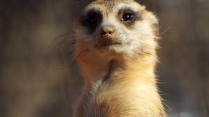 un vigilante suricato